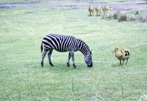 Counting sheep 29, in a field with a zebra
